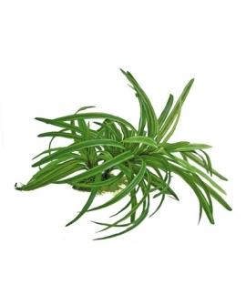 PLANTE DRACENA 25cm